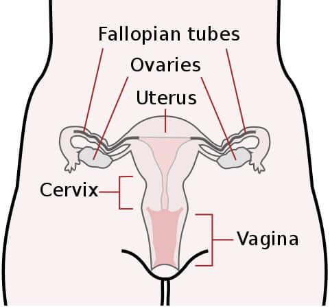 Female Reproductive Anatomy