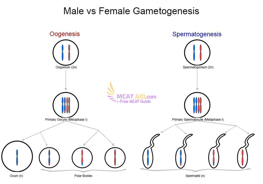 Gametogensis