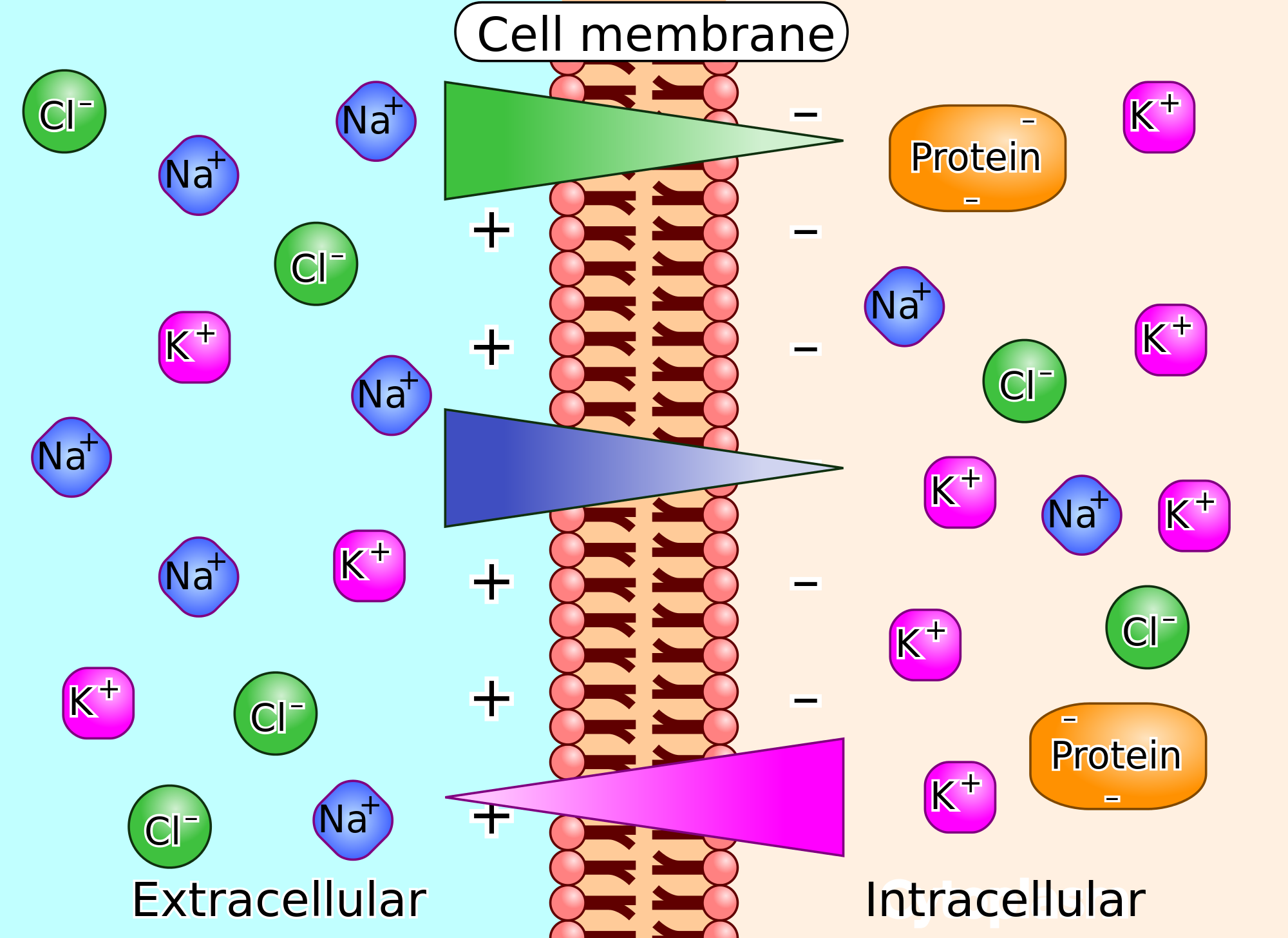 cell-membrane-potential