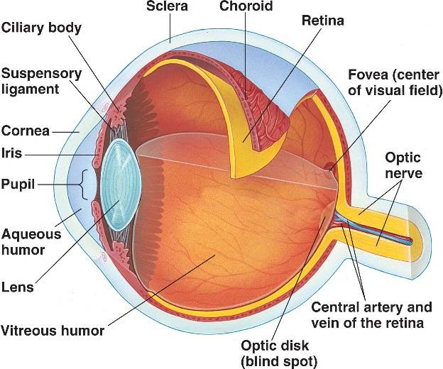 eye-structure